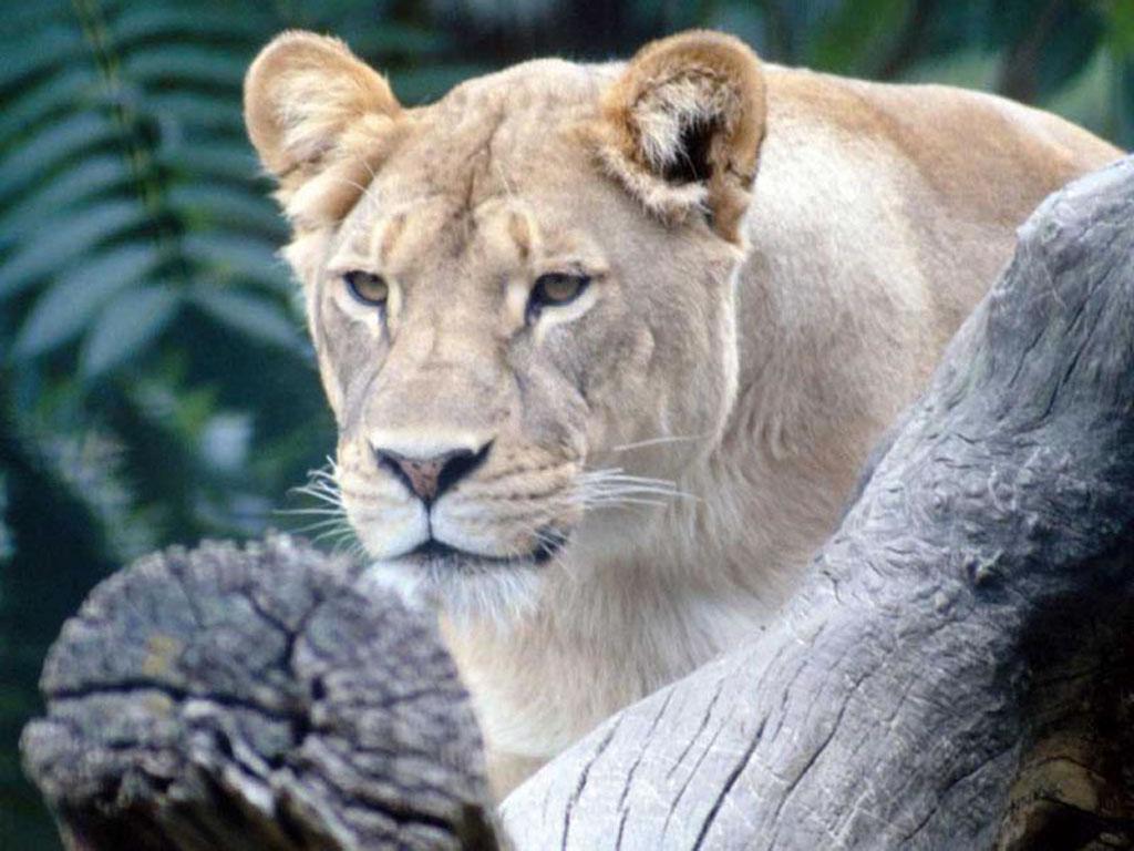 壁纸 动物 虎 老虎 狮子